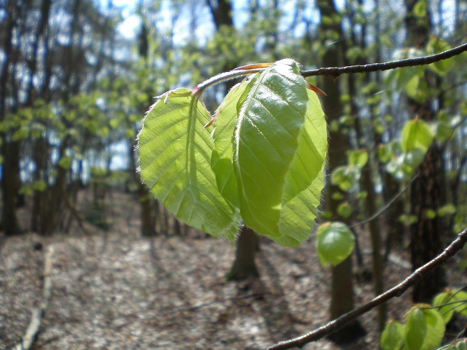 Beech, Leaf, Green, Zartgruen, Spring, Back Light