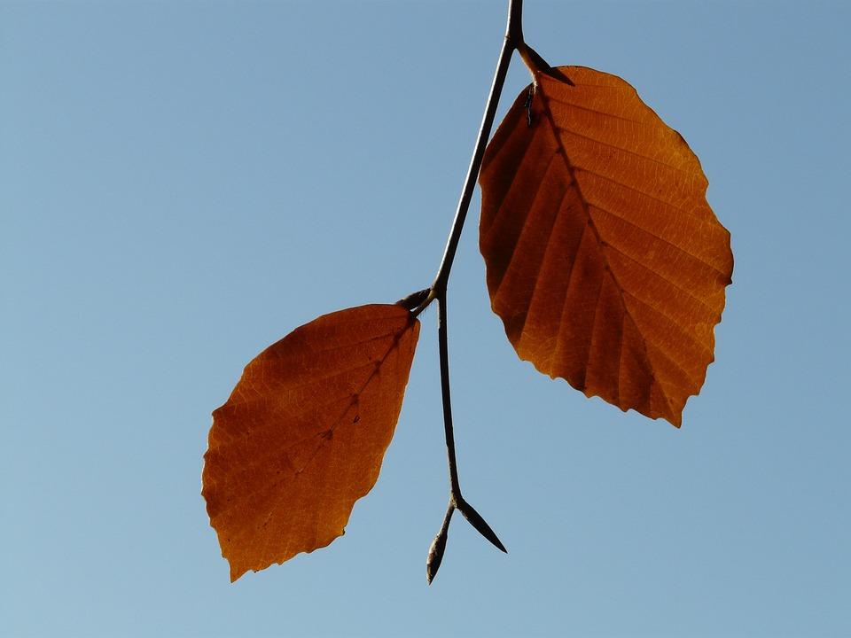 Leaf, Pair, Two, Both, Beech, Fagus Sylvatica, Fagus