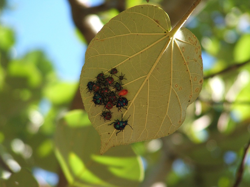 Bugs, Insects, Beetle, Beetles, Leaf, Nature, Insect
