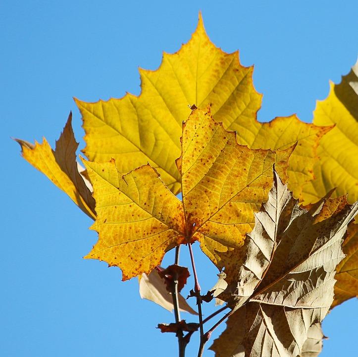 Sycamore, Leaves, Leaf, Big Leaf, Yellow Leaf, Autumn
