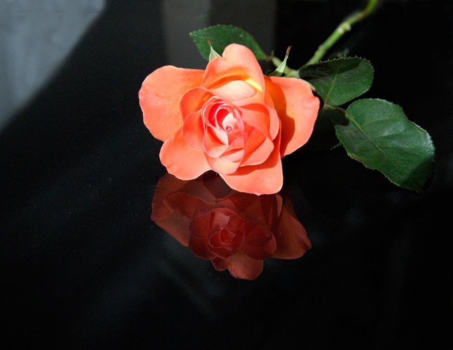 Flower, Rose, Petal, Plant, Leaf, Nature, Blooming