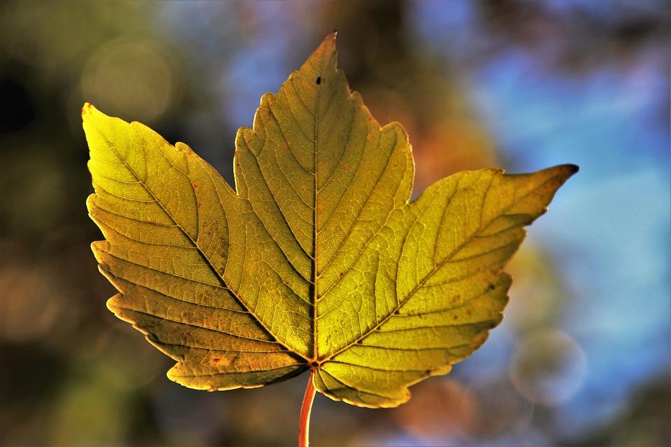 Leaf, Autumn, Botany, Season, Bokeh, Collapse, Growth