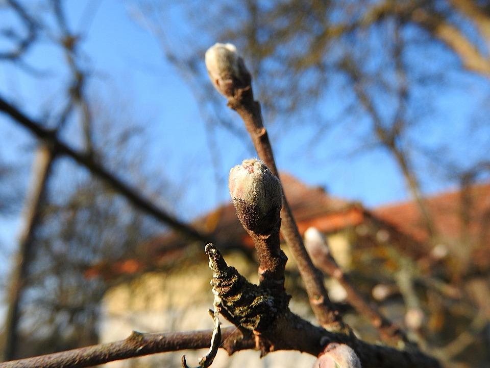 Flower Buds, Apple Buds, Spring, Leaf Buds