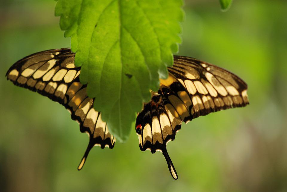 Butterfly, Leaf, Bug, Insect, Wings, Nature, Wildlife