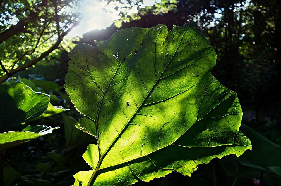 Butterbur, Petasitus Hybridus, Asteraceae, Plant, Leaf