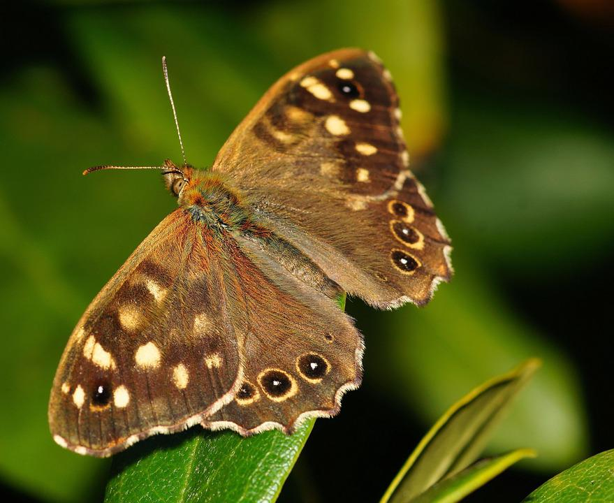 Speckled Wood, Butterfly, Leaf, Insect, Brown Butterfly
