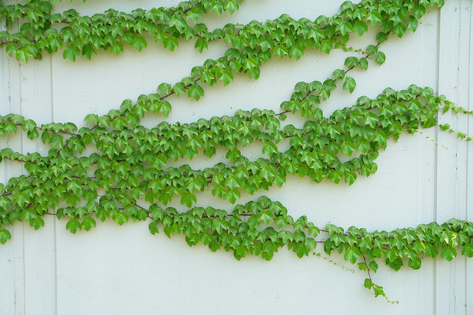 free photo vine climbing tube plant parthenocissus plants  max pixel, Beautiful flower