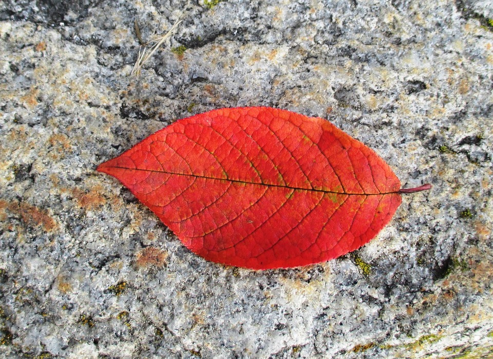 Beech, Autumn, Leaf, Leaf Coloring, Red, Leaves