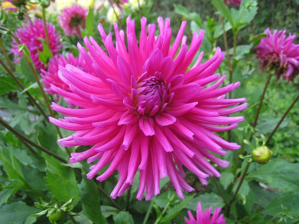 Dahlia, Flower, Pink, Colors, Leaf, Green, Garden