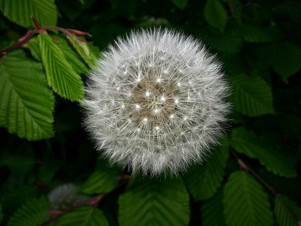 Dandelion, Leaf, Green, Nature, Color, Garden, Plant