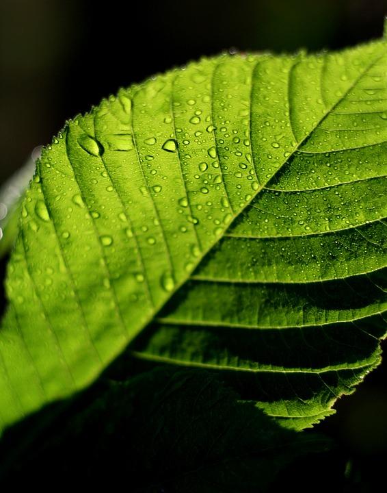 Leaf, Green, Drops, Rosa, Light