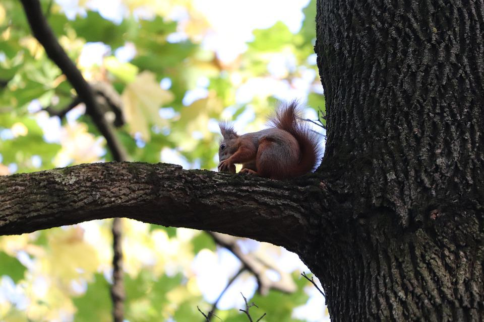 Squirrel, Nuts, Tree, Eat, Autumn, Garden, Leaf, Rodent