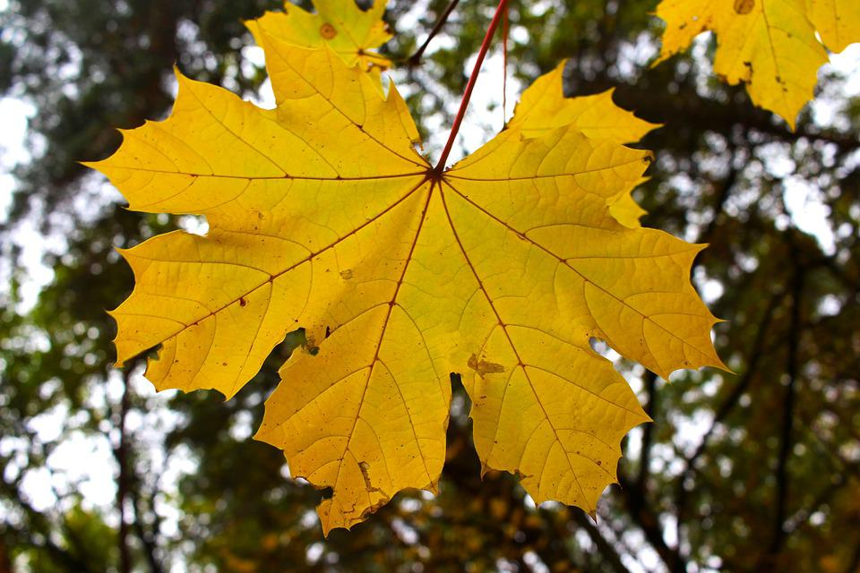 Fall Leaves, Autumn, Leaf, Trist, Nature, Environment