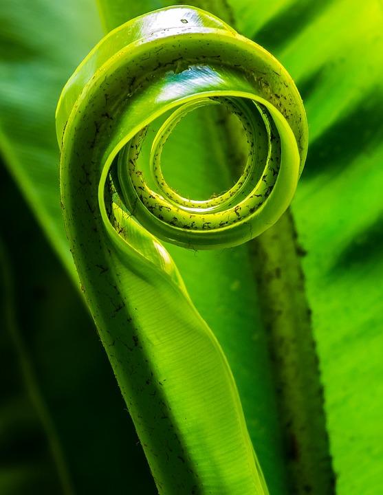 Fern, Leaf, Plant, Leaf Fern, Green, Rolled Up, Rolled