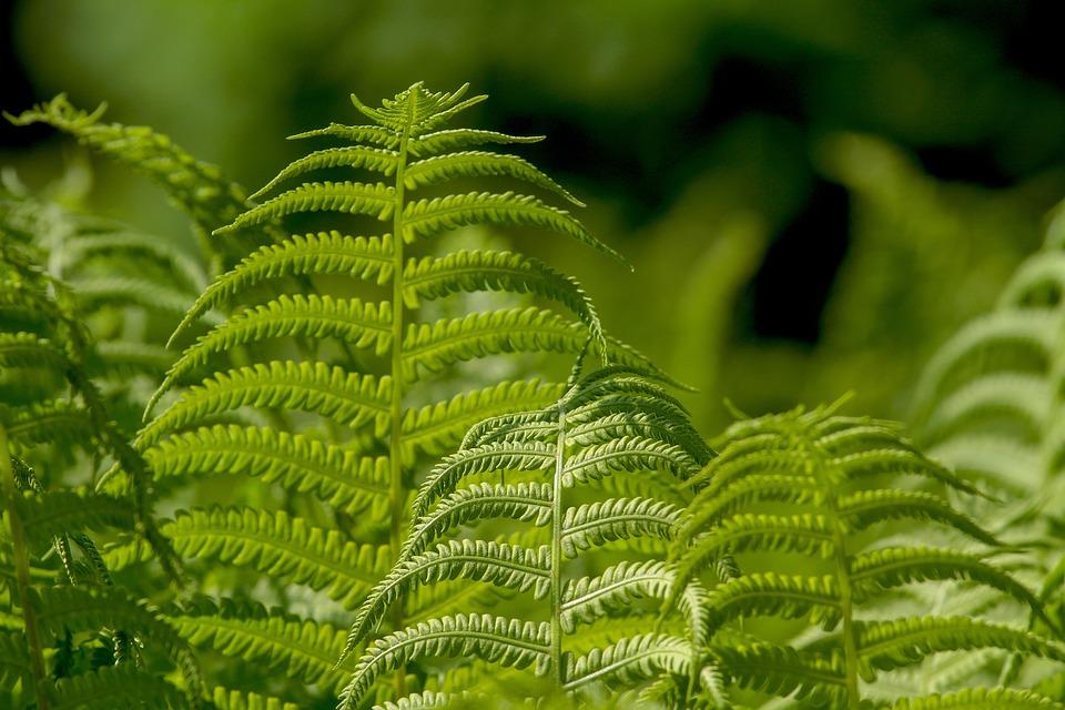 Ferns, Leaf, Plant, Nature, Ornamental Leaf Plant