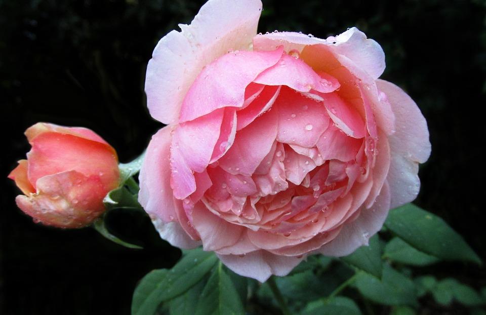 Flower, Rose, Petal, Floral, Leaf