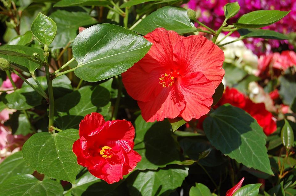 Nature, Flower, Leaf, Garden, Red Flower