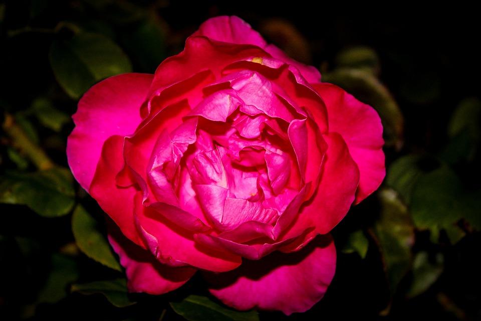 Rosa, Flower, Petal, Plant, Leaf, Floral, Nature