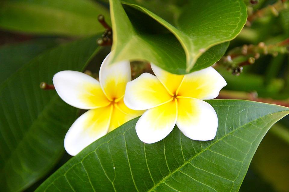 Flower, Leaf, White, Yellow, Plant, Petal