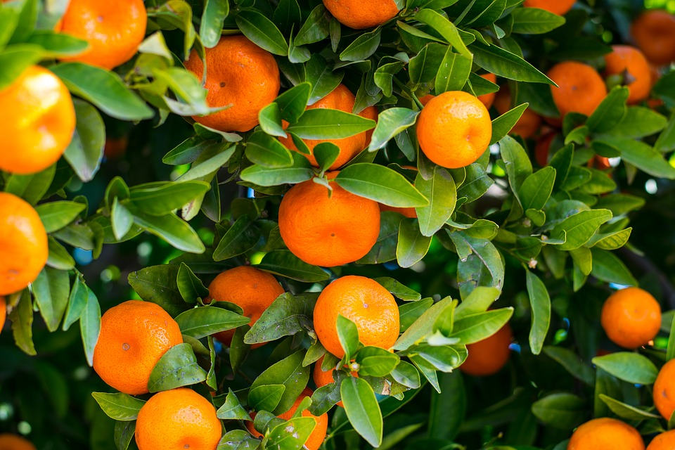 Fruit, Food, Leaf, Garden, Juicy, Oranges, Nature