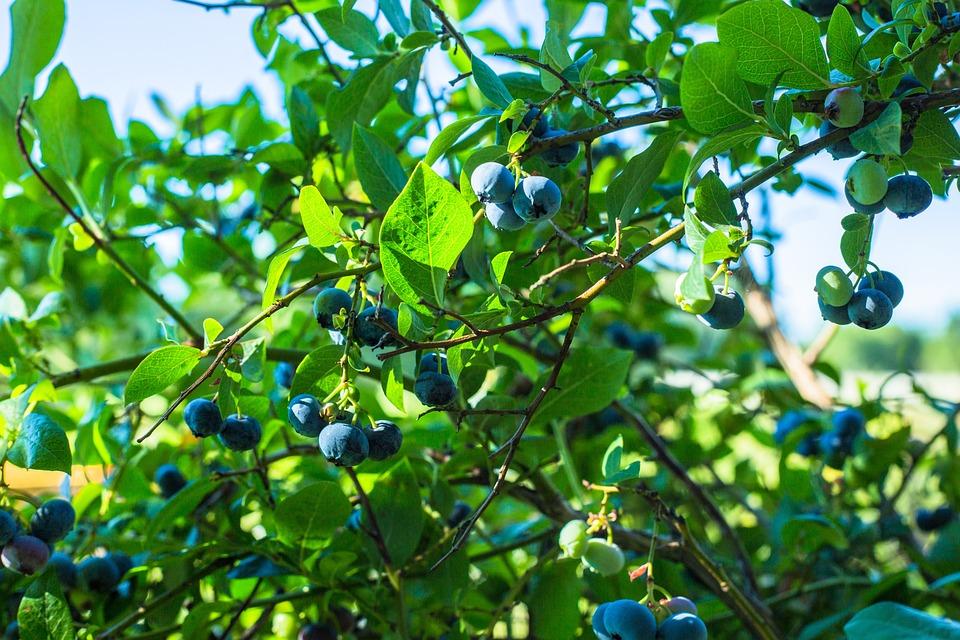 Fruit, Leaf, Nature, Branch, Plant
