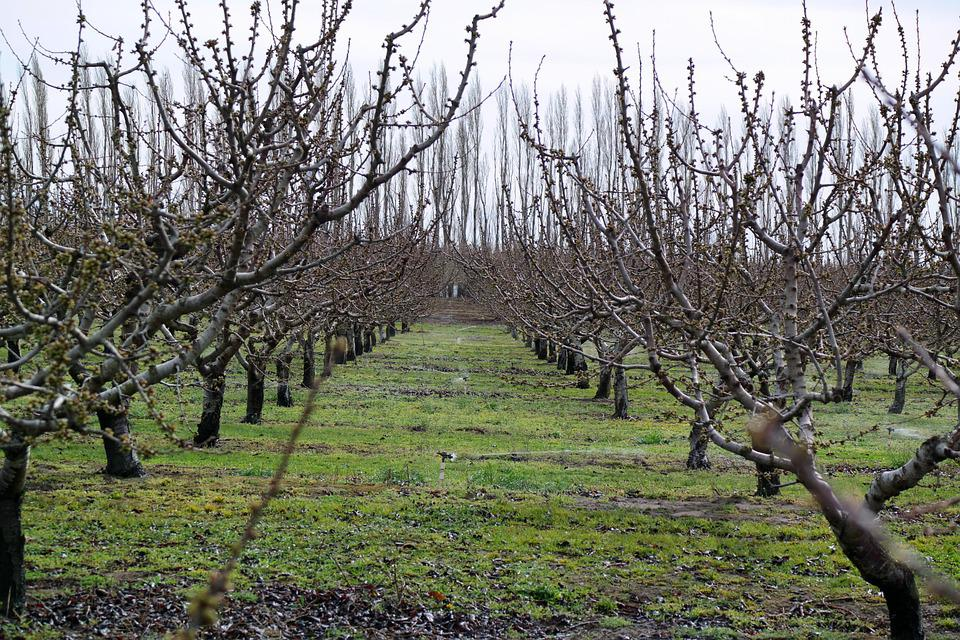 Orchard, Grapes, Agriculture, Fruit, Vineyard, Leaf