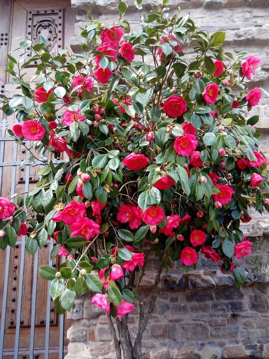 Flower, Flora, Garden, Leaf, Rose, Nature, Color, Petal