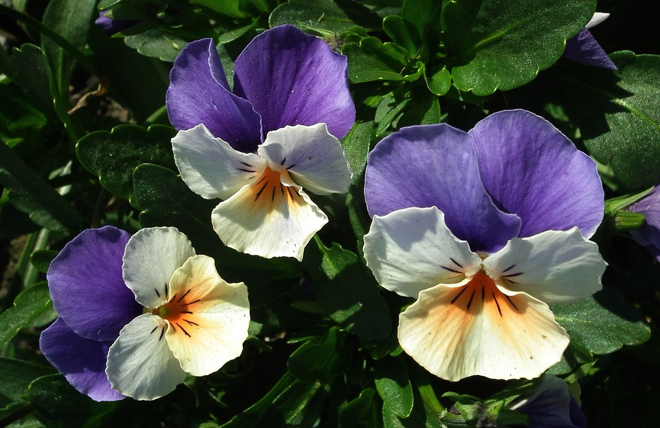 Flower, Pansies, Colorful, Spring, Leaf, Plant, Garden