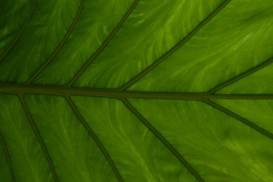 Leaf, Plant, Growth, Vein, Environment, Nature, Garden