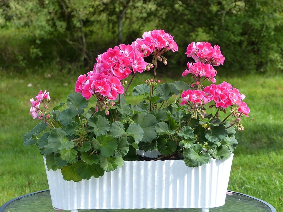 Geranium, Flowers, Pot, Leaf, Grass, Shrubs, Garden