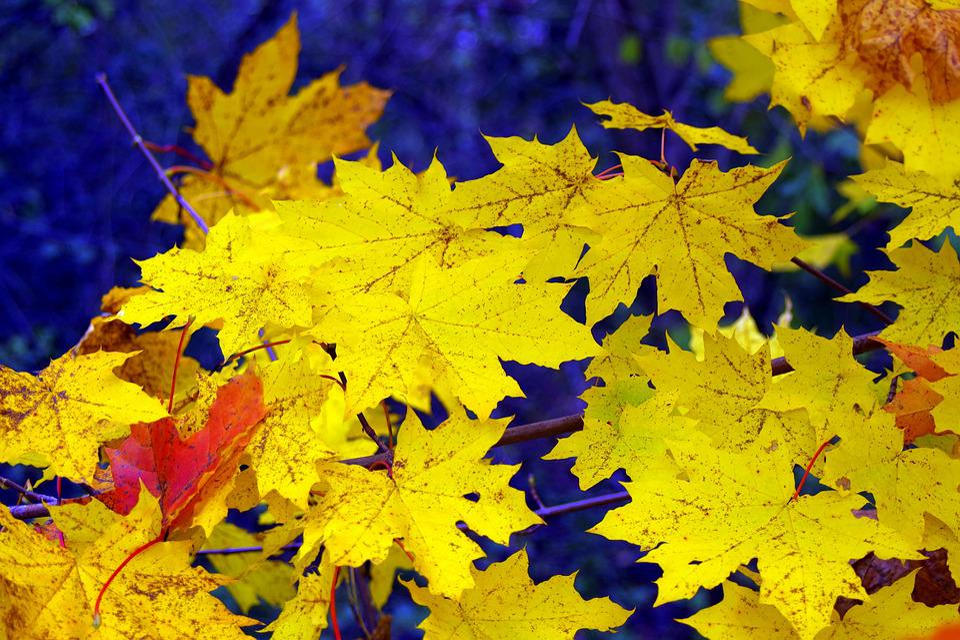 Clone, Leaf, Yellow, Gold, Autumn, Sunny, Glow
