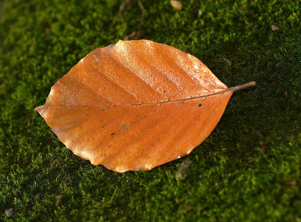 Leaf, Beech, Yellow, Orange, Moss, Green