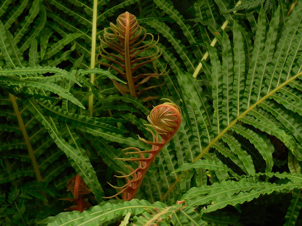 Fronds, Fern, Green, Plant, Environment, Leaf, Unfurl