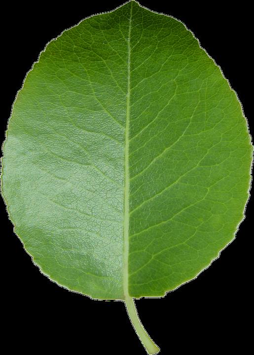 Leaf, Cut Sheet, Transparent Background, Green Leaf