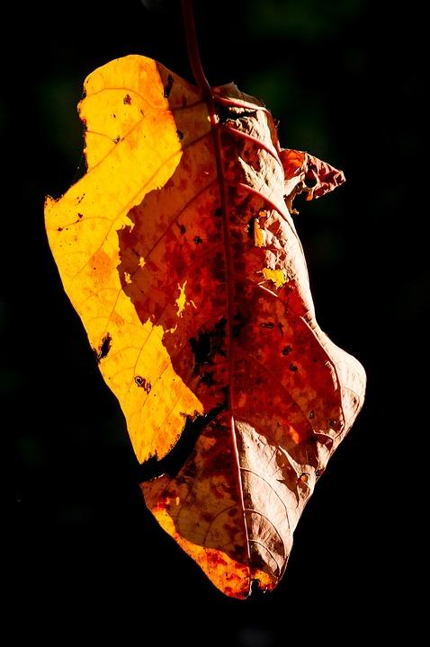 Leaf, Bleeding Heart Tree, Homalanthus Populifolius