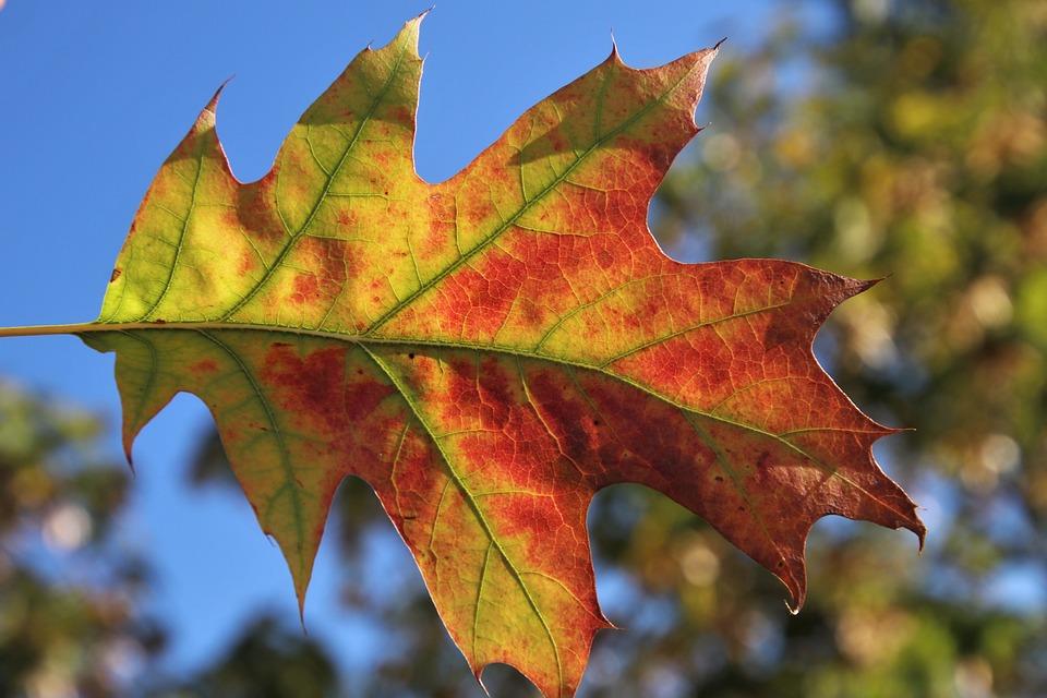 Leaf, In The Wind, Oct, Autumn, źyła
