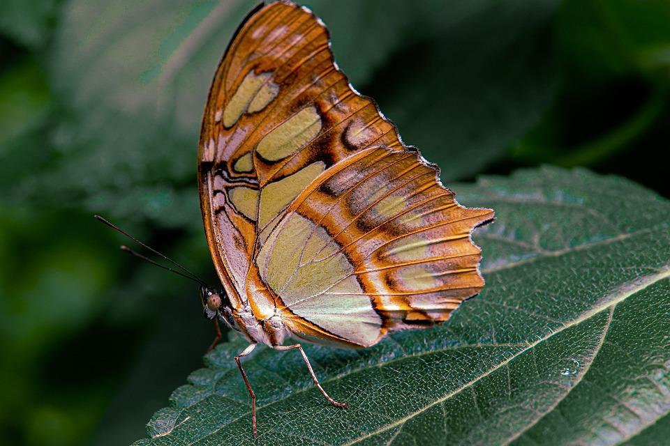 Butterfly, Insect, Leaf, Malachite Butterfly, Wings