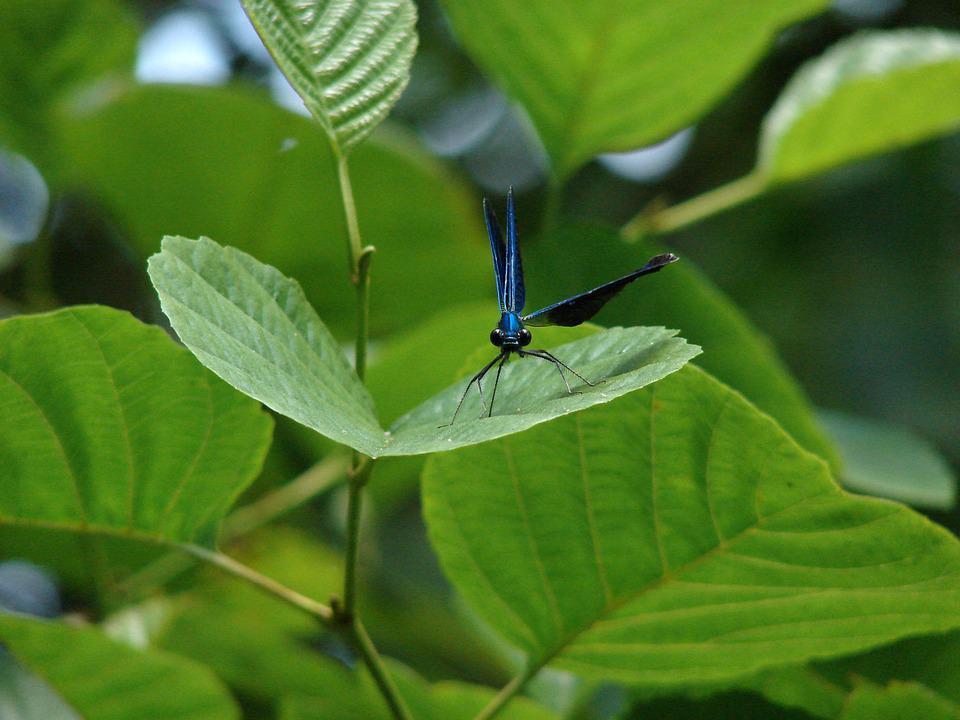 Dragonfly, Insect, Leaf, Foliage, Animal, Green, Wings