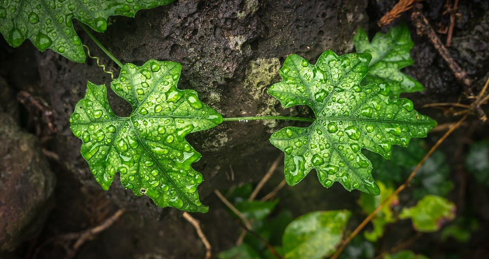 Ivy, Leaf, Nature, Plants, The Leaves, Green, Abstract