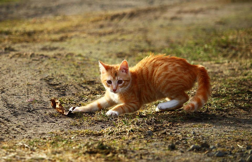 Cat, Kitten, Red Mackerel Tabby, Red Cat, Play, Leaf