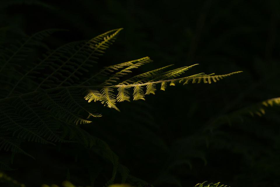 Fern, Green, Forest, Leaf Fern, Plant, Nature, Leaf