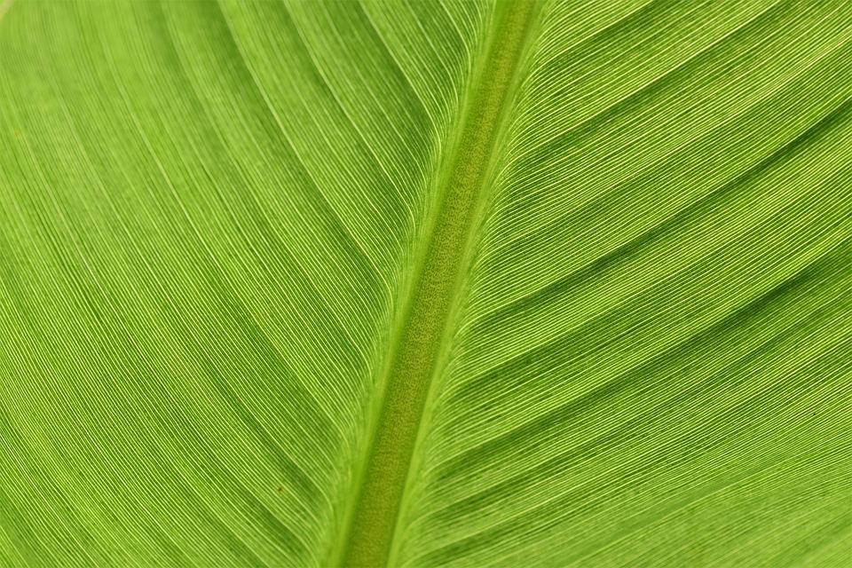 Banana Leaf, Fibers, Leaf, Leaf Ribs, Flora, Plant