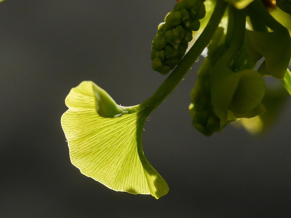 Gingko, Spring, Leaf, Leaf Sprouting