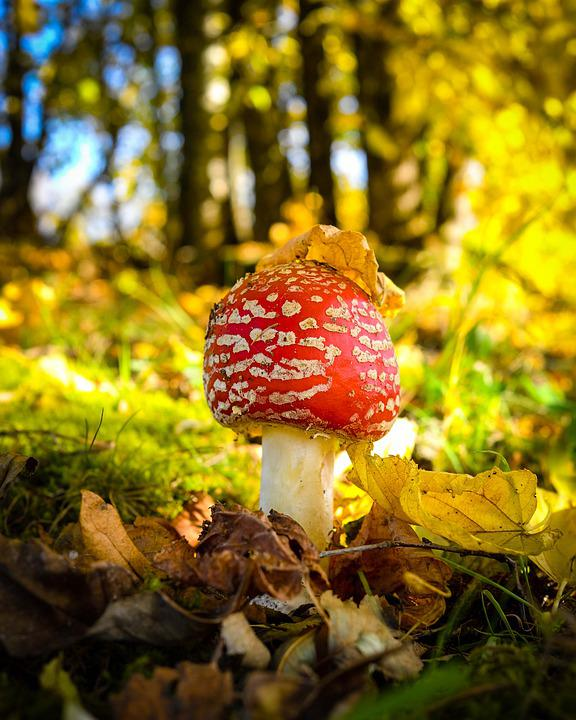 Fly Agaric, Autumn, Leaves, Leaf, Fairy Tales, Toxic