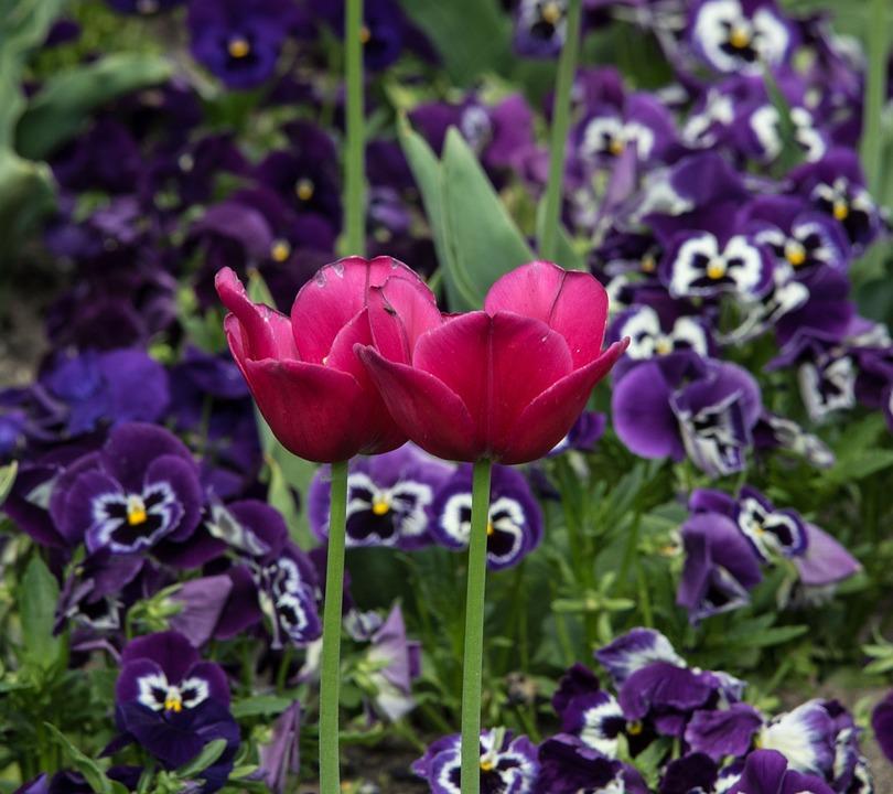Plant, Tulip, Flower, Nature, Garden, Leaf, Leaves