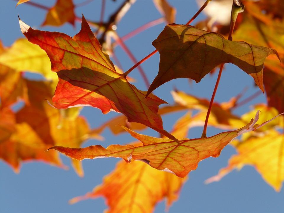Autumn, Leaf, Leaves, Maple, Maple Leaf, Colorful