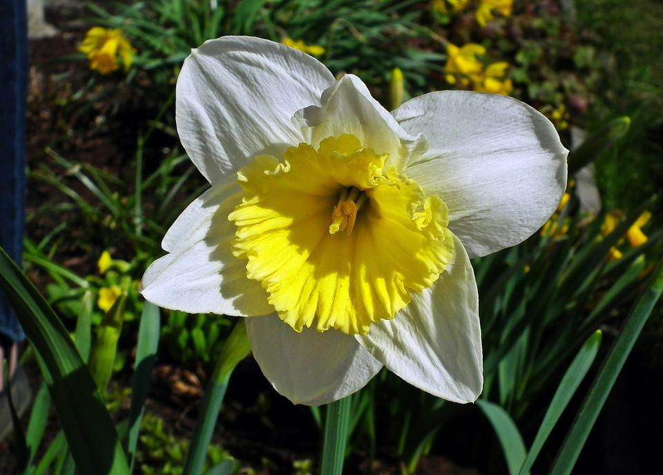 Nature, Flower, Plant, Leaf, Garden, Narcissus Trąbkowy