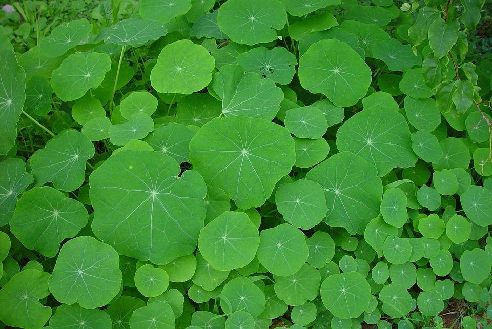 Green, Nasturtiums, Leaves, Leaf, Landscapes, Nature