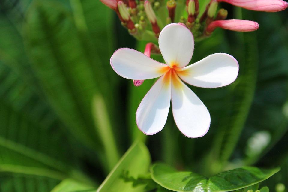 Plumeria, Nature, Flower, Plant, Leaf, Summer