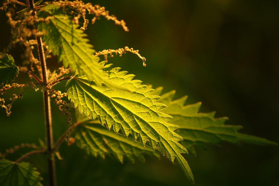 Leaf, Nature, Flora, Outdoors, Tree, Nettle, Green